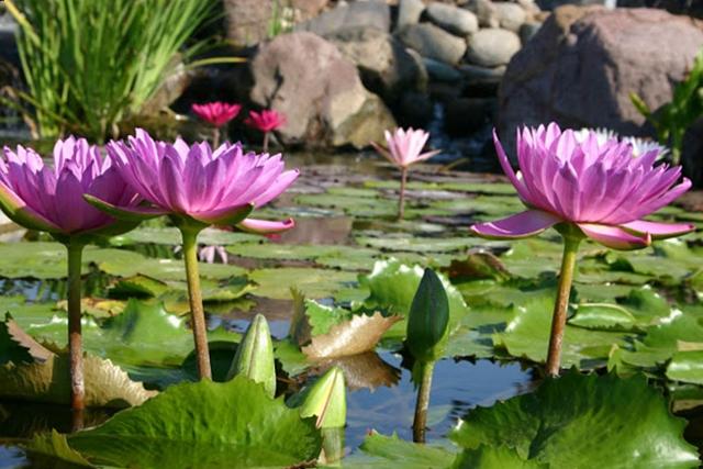 Tropical Waterlilies in a Backyard Paradise