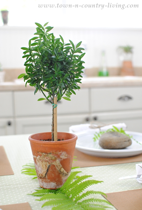 Boxwood Topiary used as a Simple Centerpiece for a Family Dinner