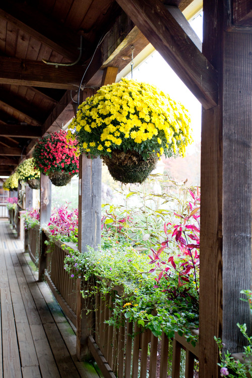 Hanging Baskets Overflowing with Fall Mums