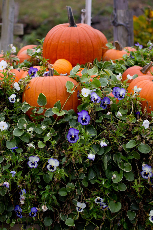 Pumpkins and Pansies