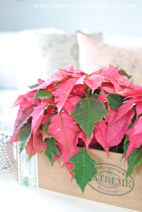 Pink Poinsettias from Shady Hill Gardens