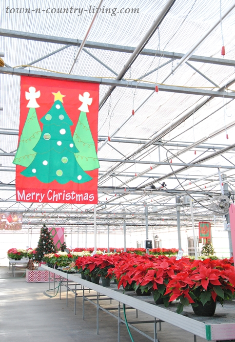 Easy-to-follow tips for growing poinsettias