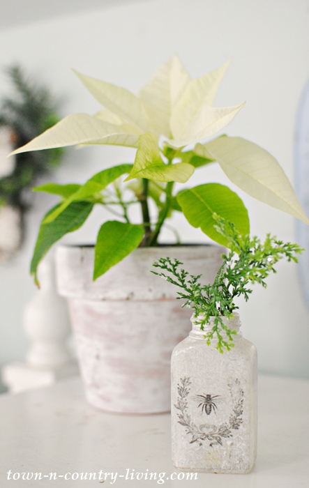 Creamy Poinsettia in Whitewashed Garden Pot