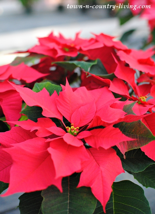 Poinsettia Care Outdoors