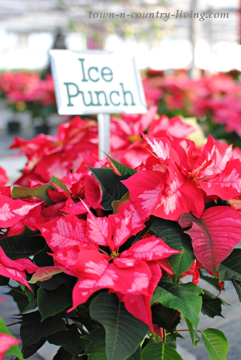 How to Care for Poinsettias - Town & Country Living