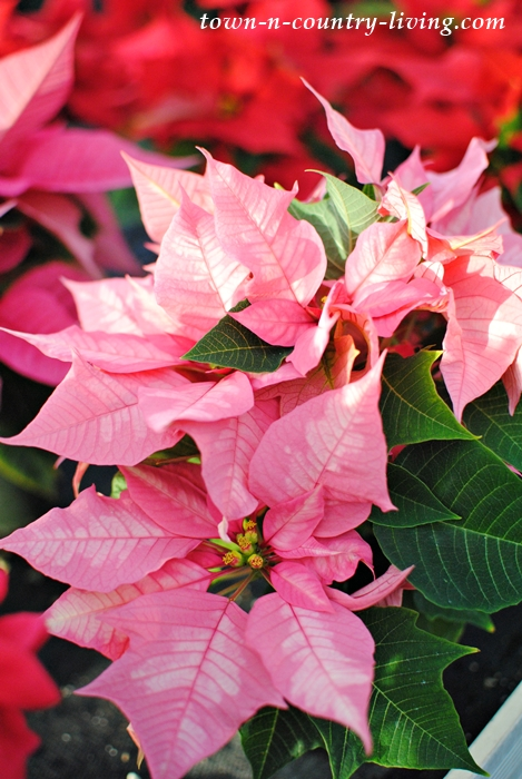 Tips for Keeping Poinsettias Healthy Throughout the Christmas Season