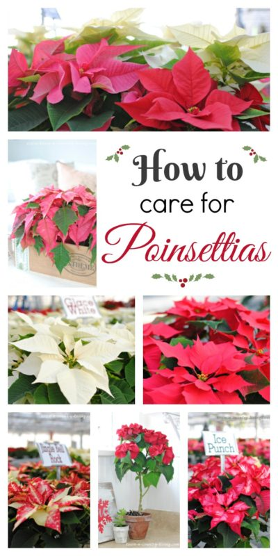 Tips and Tricks for Caring for Poinsettias