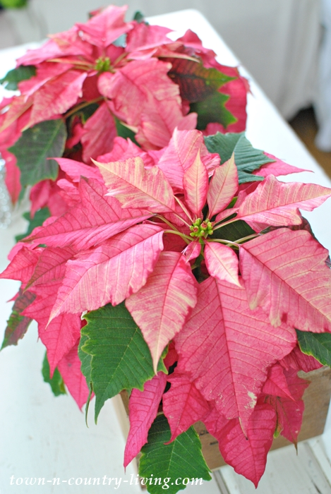Sparkling Punch Poinsettia