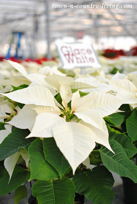 Glace White Poinsettia