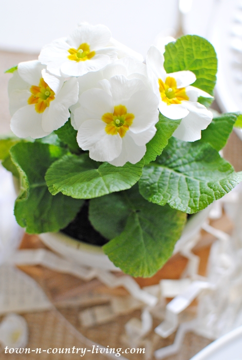 White Primrose Flowers in White Ironstone Bowl