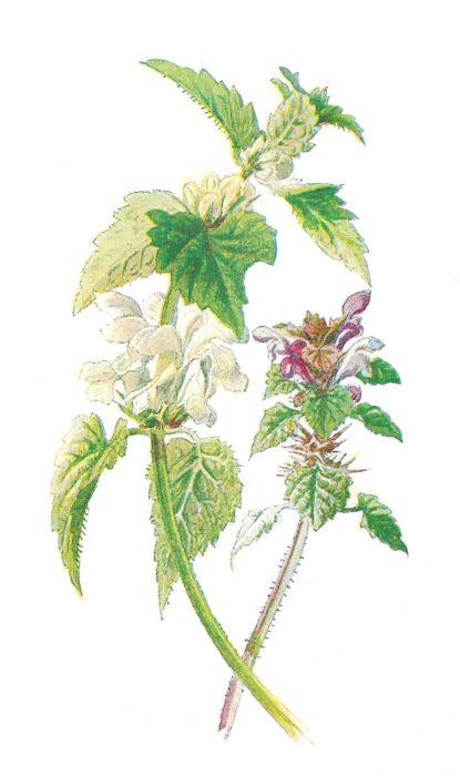 Dead Nettle Wildflower