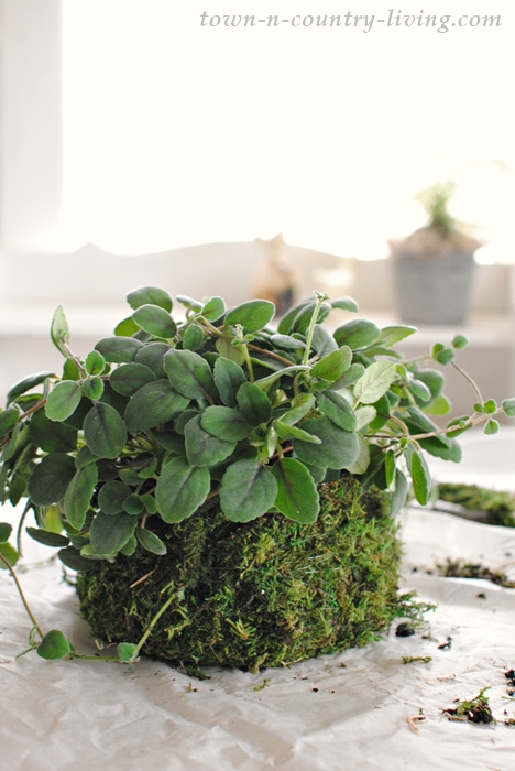 Alsoba dianthiflora in a custom moss pot