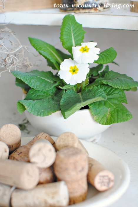 White Primrose in Vintage Ironstone Bowl
