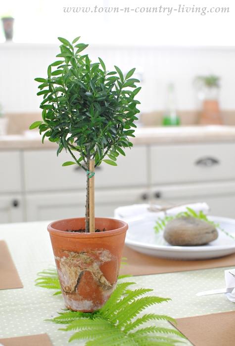 Boxwood Topiary. houseplants, mossy pots, terra cotta pots, garden pots