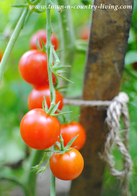 vegetable gardening, cherry tomatoes, easy gardening tips