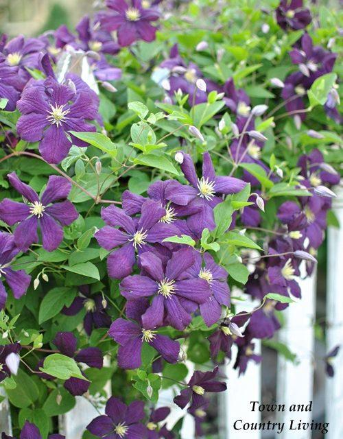 Jackmanni Clematis, gardening tips, flower garden, vegetable garden