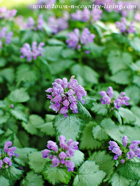 Lamium Ground Cover, flower gardening, perennials, gardening tips
