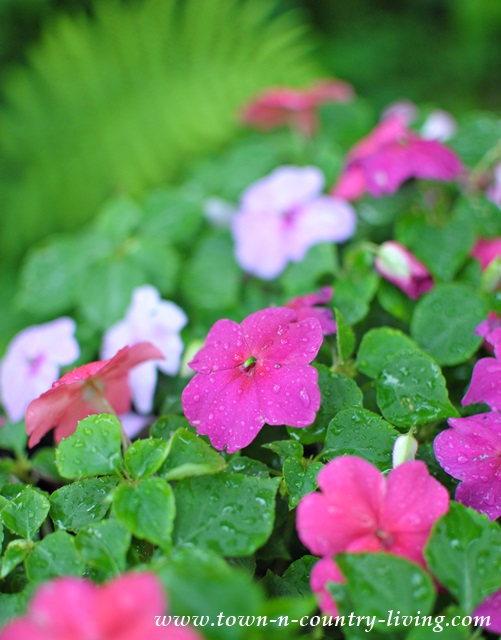 pink and white impatiens, flower gardening, gardening tips
