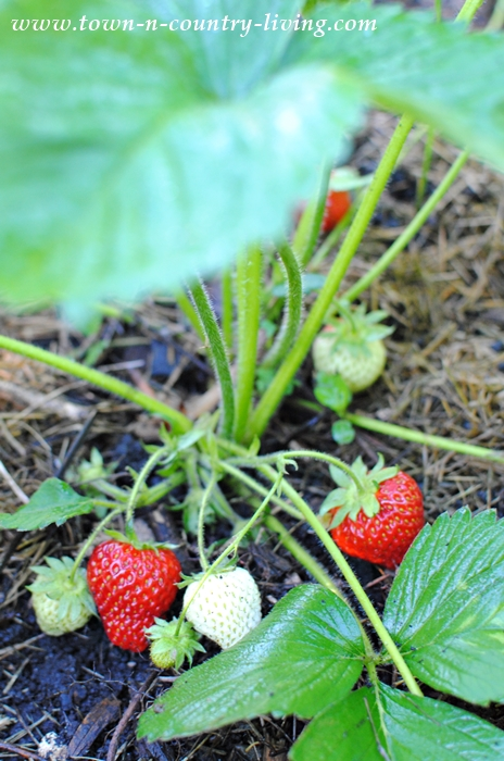 easy gardening tips, strawberries
