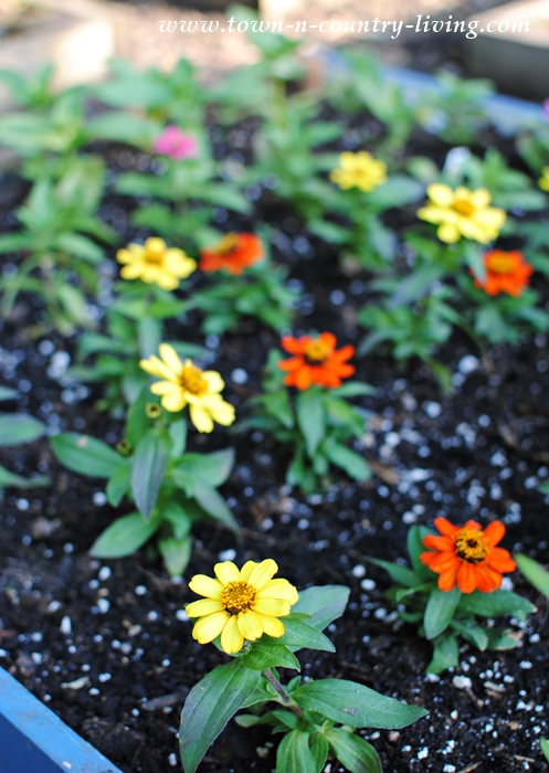 zinnias, cutting garden, gardening tips, flower gardening