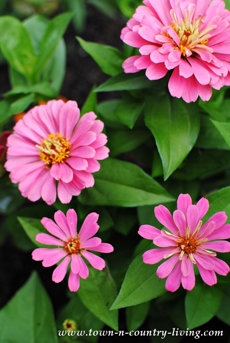 zinnias, flower gardening, gardening tips, pink zinnias