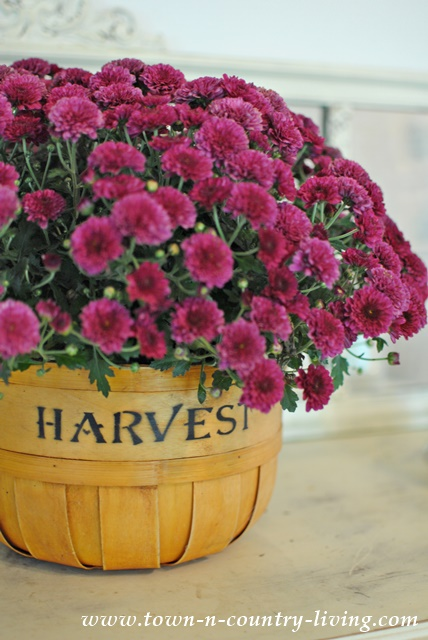 Fall Mums in a Harvest Basket
