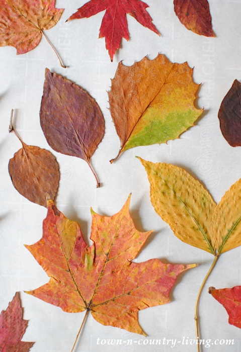Colorful Fall Leaves - Pressed for Arts and Crafts