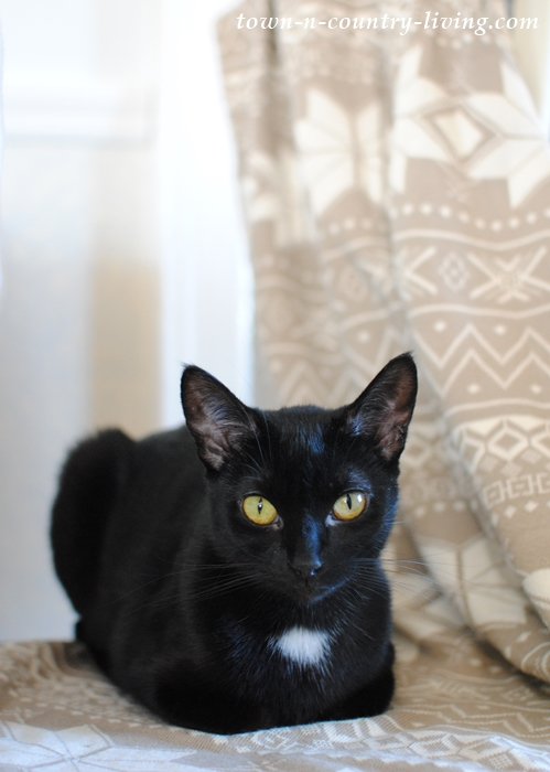 Bella the Black Cat