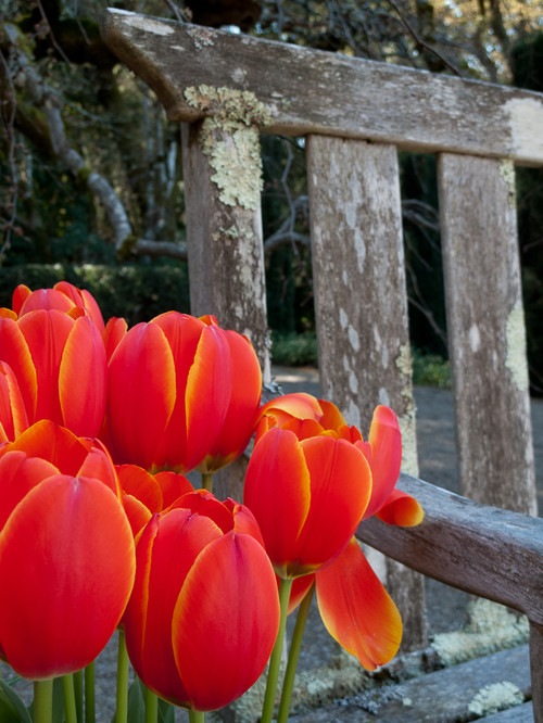 Red Tulips Near Picket Fence