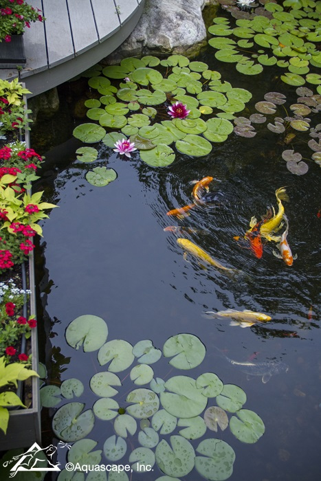 Colorful Koi in an Aquascape Pond
