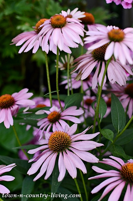 Purple Coneflower - Garden Tour