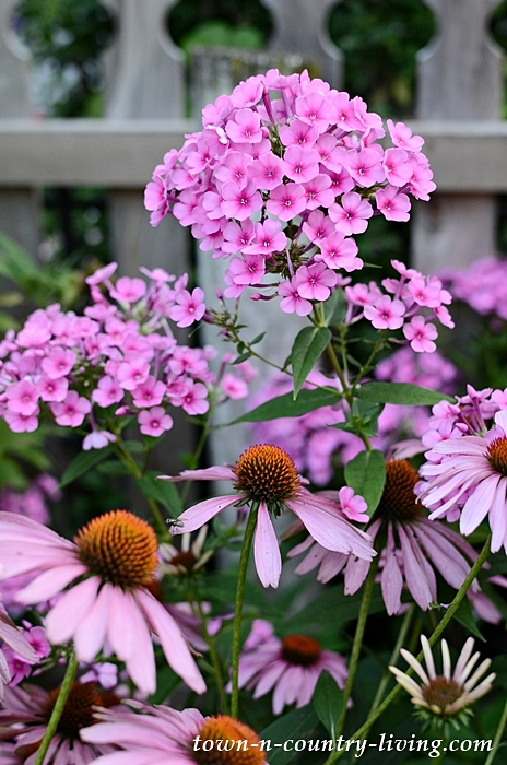 Garden Tour with Coneflower and Phlox against picket fence