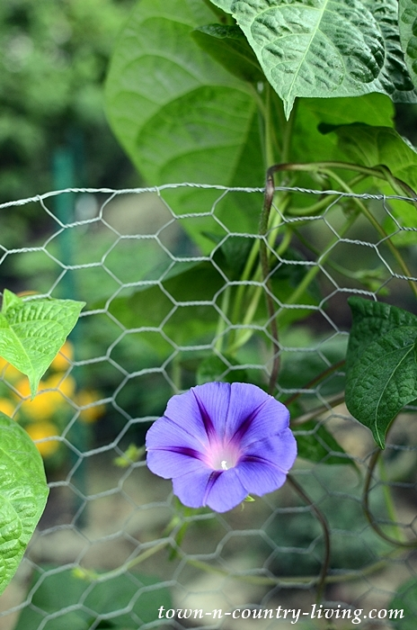 Blue Heaven Morning Glory in Flower Cutting Garden