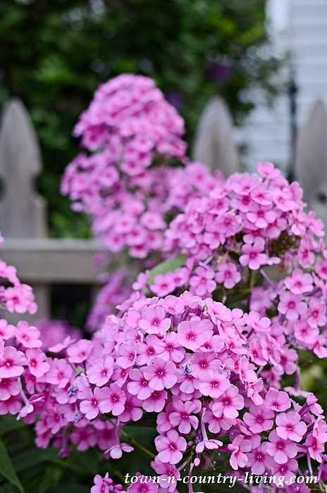 Garden Tour with Aromatic Phlox