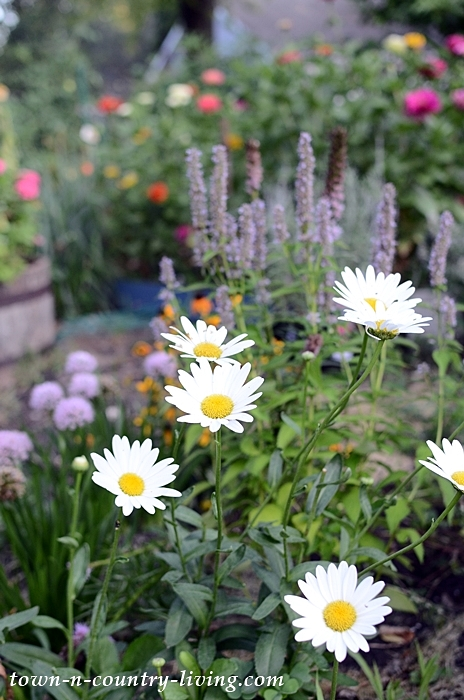 Shasta Daisies with Ornamental Onion in Background