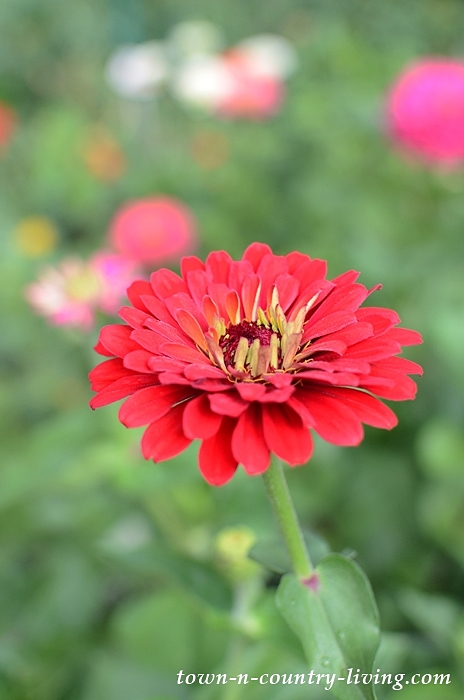 State Fair Zinnias in a Cutting Flower Garden
