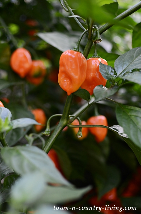 Habanero Peppers in a Late September Garden