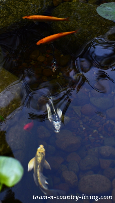 Koi Fish and Golden Orfes in Garden Pond