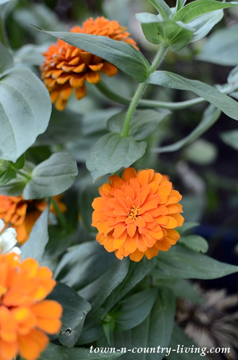 Orange Zinnias in a Midwest Flower Garden