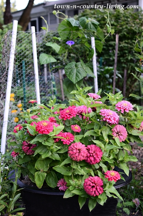 Pink Zinnias in a Whiskey Barrel Tub