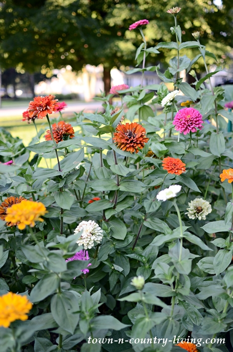 State Fair Zinnias in a Late September Cutting Garden