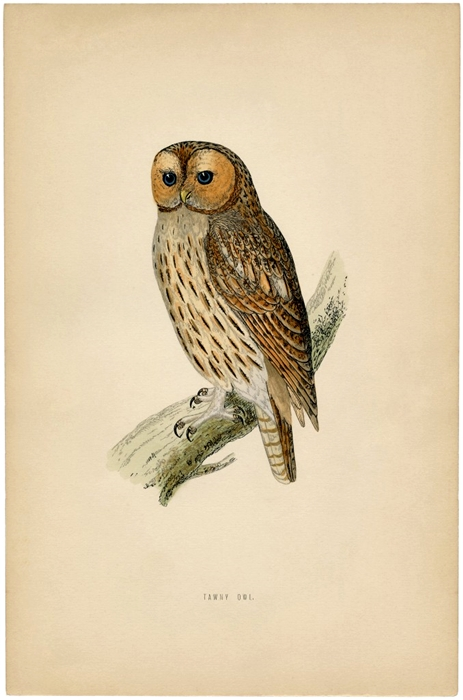Vintage Owl Printable from The Graphics Fairy