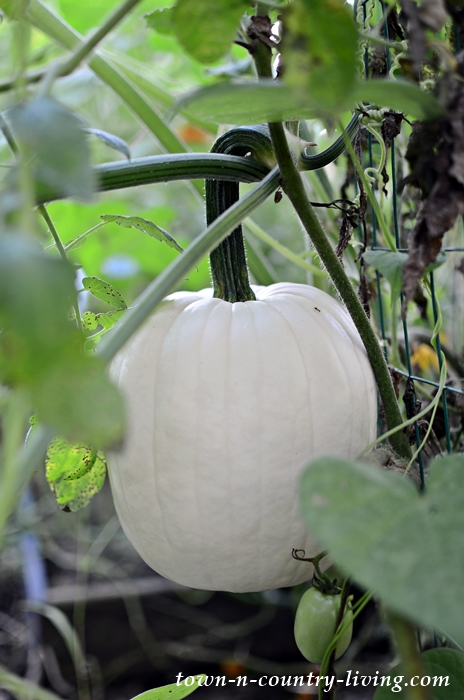 White Pumpkin Growing in a Late September Garden