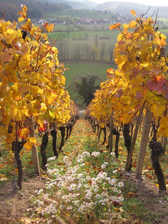 Grapevines in an Autumn Vineyard