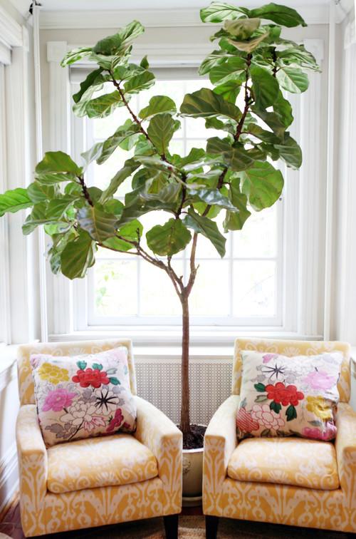 Reading Corner with Fiddle Leaf Fig