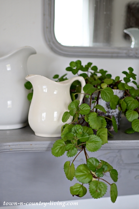 Swedish Ivy Houseplant with White Ironstone
