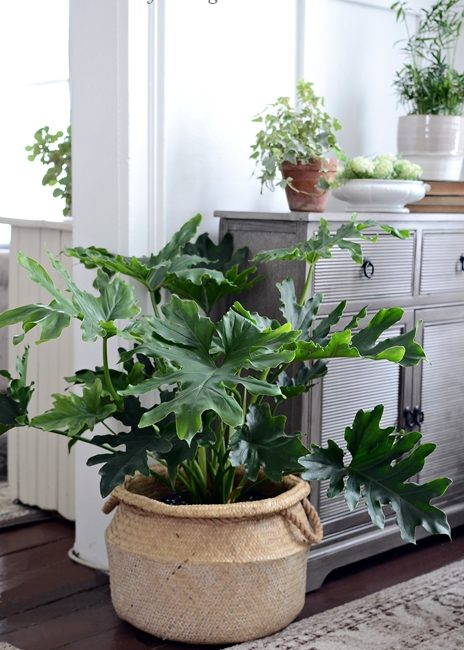 Hope Philodendron - Healthy Houseplant in Woven Basket