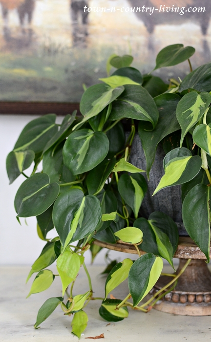 Philodendron Brasil - Cozy Spring Living