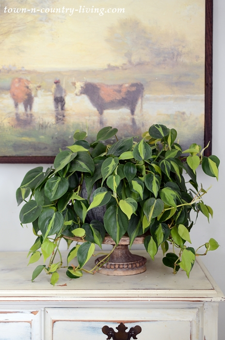 Philodendron Brasil. A Beautiful, Easy-to-Grow Plant