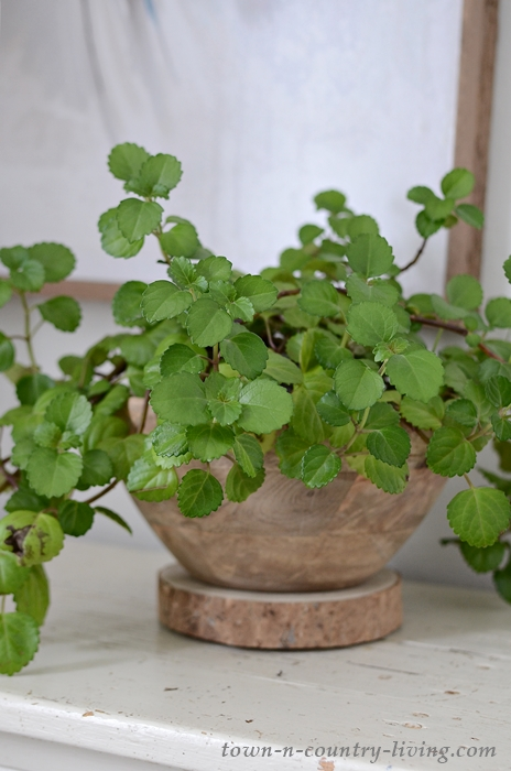 Swedish Ivy makes a great houseplant due to its ease in care.